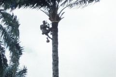 Palm wine tapper